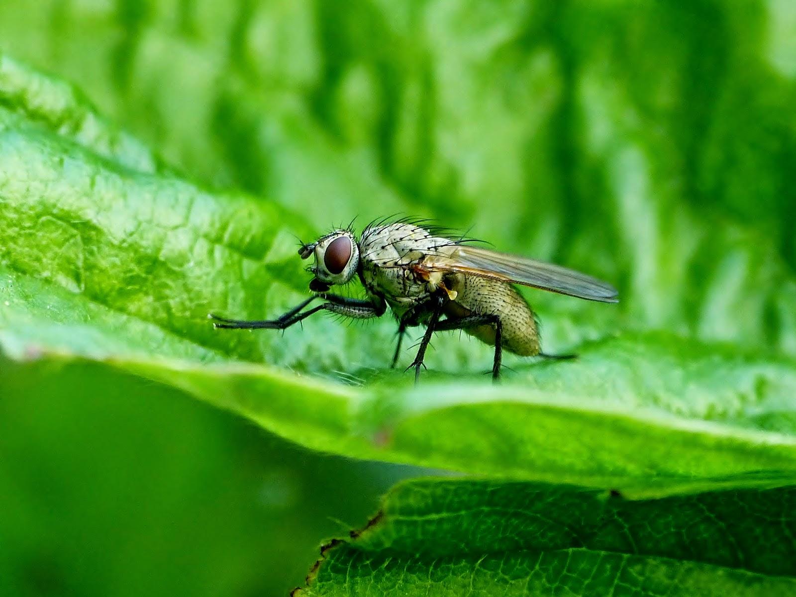 eliminer les moucherons comment tuer une mouche comment se dbarrasser des mouches fruits. Black Bedroom Furniture Sets. Home Design Ideas